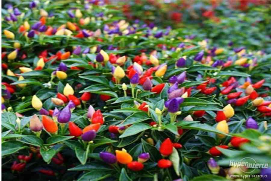 Chilli Chinese Five Color