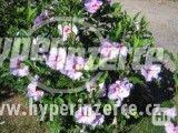 Ibišky zahradní, více druhů: 7 barev, v plast.kontejnerech - foto 4