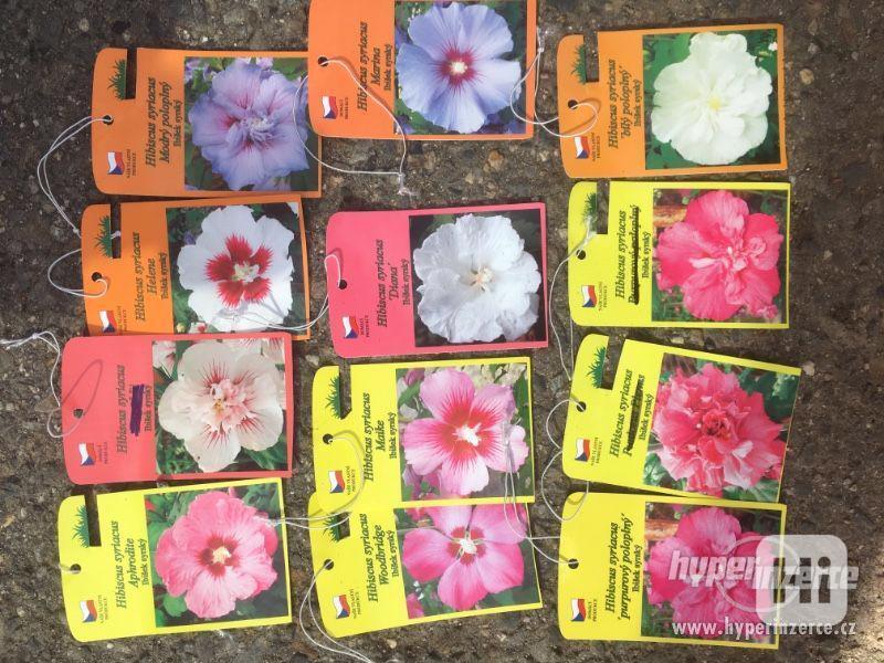 Ibišky zahradní, více druhů: 7 barev, v plast.kontejnerech - foto 23