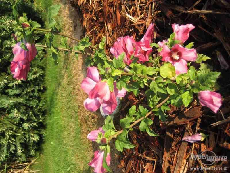 Ibišky zahradní, více druhů: 7 barev, v plast.kontejnerech - foto 7