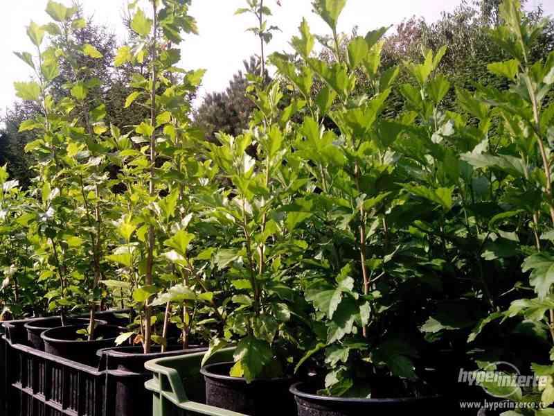 Ibišky zahradní, více druhů: 7 barev, v plast.kontejnerech - foto 8