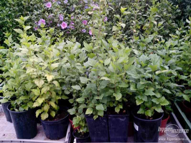 Ibišky zahradní, více druhů: 7 barev, v plast.kontejnerech - foto 10
