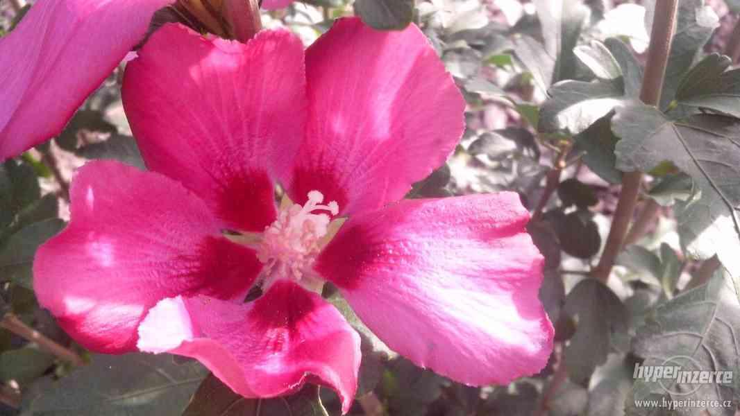 Ibišky zahradní, více druhů: 7 barev, v plast.kontejnerech - foto 19