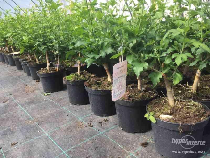 Ibišky zahradní, více druhů: 7 barev, v plast.kontejnerech - foto 24
