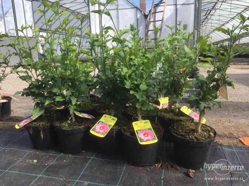 Ibišky zahradní, více druhů: 7 barev, v plast.kontejnerech - foto 25