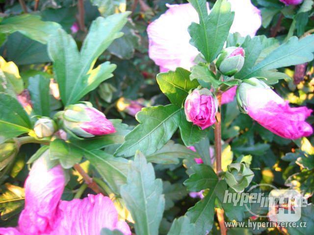 Levně zahradní IBIŠKY mrazuvzd. 2,5-4 leté 8 druhů, barev - foto 10
