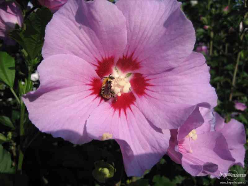 Levně zahradní IBIŠKY mrazuvzd. 2,5-4 leté 8 druhů, barev - foto 5