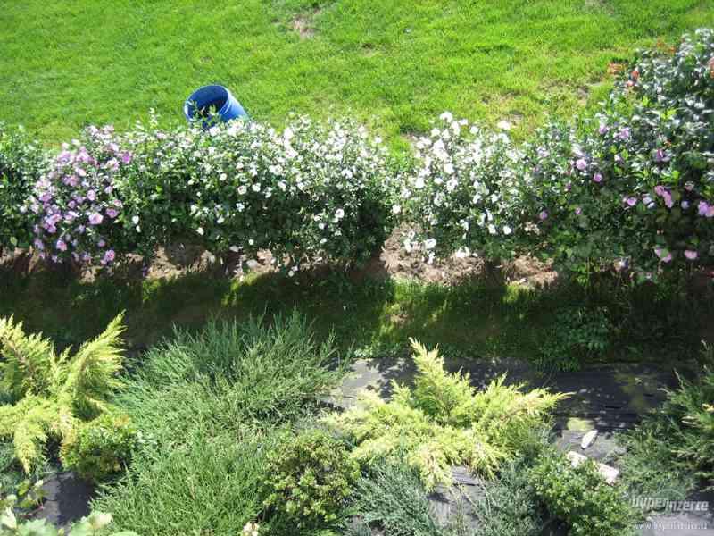 Levně zahradní IBIŠKY mrazuvzd. 2,5-4 leté 8 druhů, barev - foto 6