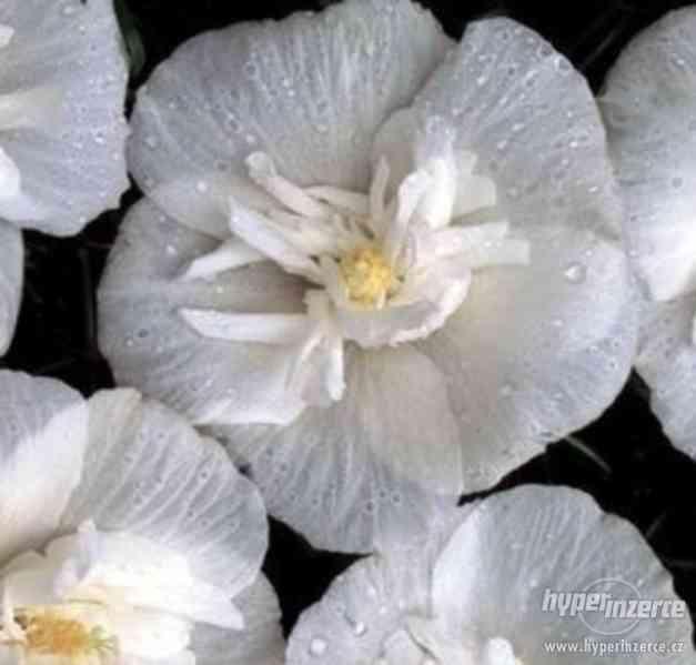 Levně zahradní IBIŠKY mrazuvzd. 2,5-4 leté 8 druhů, barev - foto 23