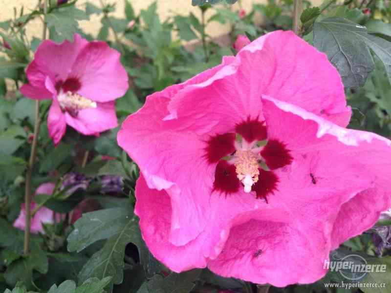 Levně zahradní IBIŠKY mrazuvzd. 2,5-4 leté 8 druhů, barev - foto 25
