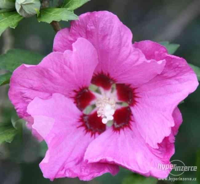 Levně zahradní IBIŠKY mrazuvzd. 2,5-4 leté 8 druhů, barev - foto 26