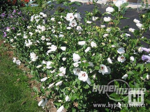 IBIŠEK Syrský mrazuvzdorný venkovní/zdravá semena/sazenice - foto 1