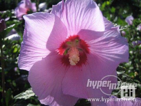 IBIŠEK Syrský mrazuvzdorný venkovní/zdravá semena/sazenice - foto 4