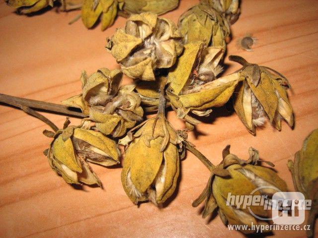 IBIŠEK Syrský mrazuvzdorný venkovní/zdravá semena/sazenice - foto 8