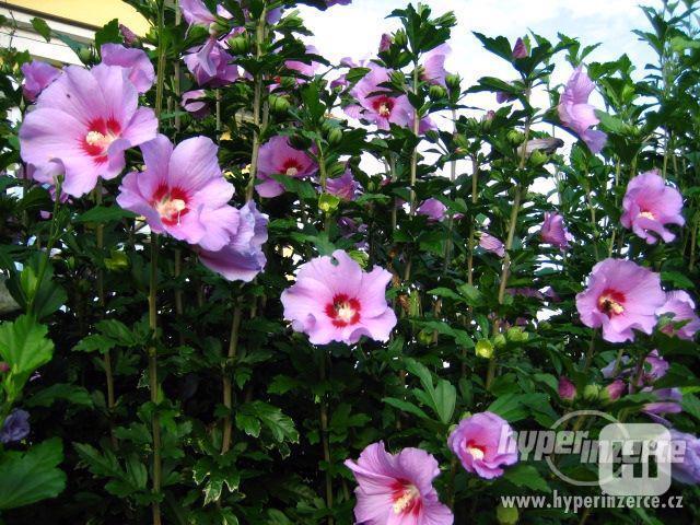 IBIŠEK Syrský mrazuvzdorný venkovní/zdravá semena/sazenice - foto 9