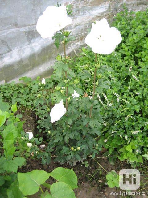 IBIŠEK Syrský mrazuvzdorný venkovní/zdravá semena/sazenice - foto 11