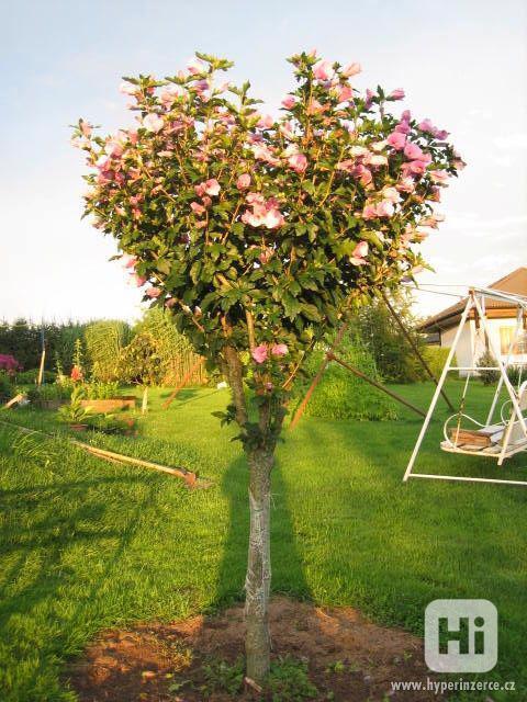 IBIŠEK Syrský mrazuvzdorný venkovní/zdravá semena/sazenice - foto 12