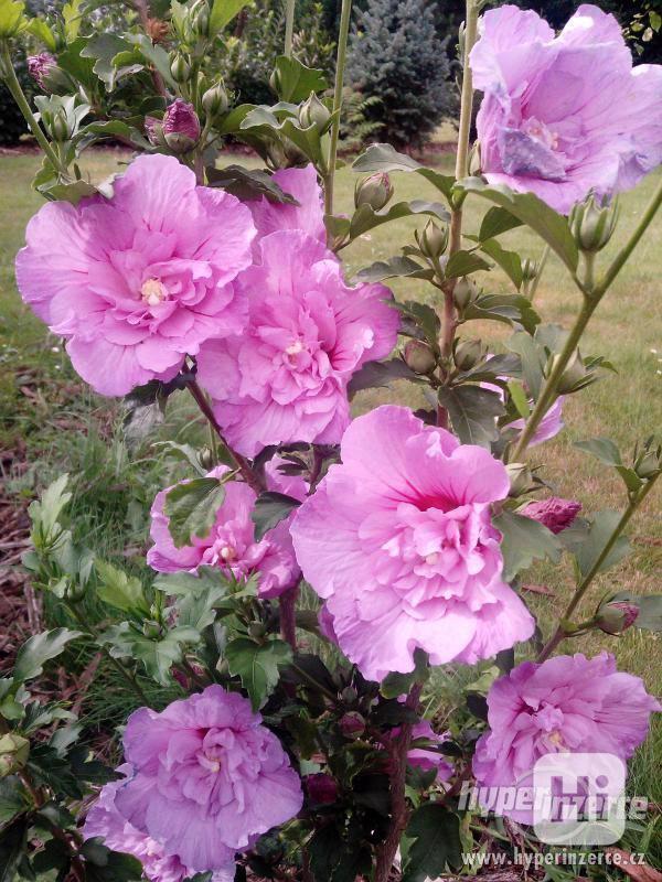 IBIŠEK Syrský mrazuvzdorný venkovní/zdravá semena/sazenice - foto 19