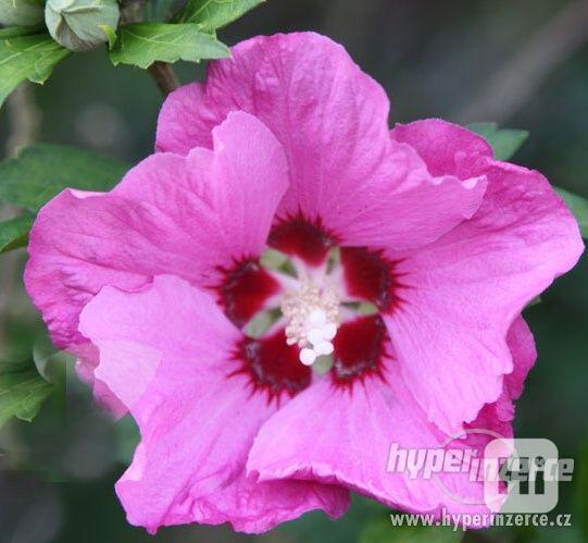 IBIŠEK Syrský mrazuvzdorný venkovní/zdravá semena/sazenice - foto 27