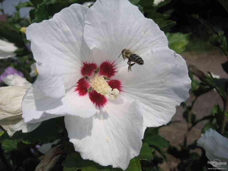 IBIŠEK Syrský mrazuvzdorný venkovní/zdravá semena/sazenice - foto 2