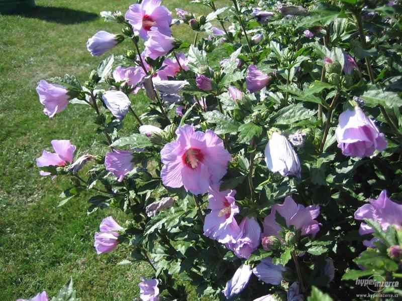IBIŠEK Syrský mrazuvzdorný venkovní/zdravá semena/sazenice - foto 3