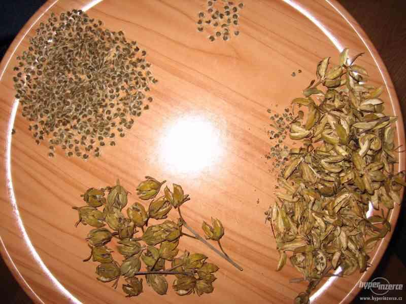 IBIŠEK Syrský mrazuvzdorný venkovní/zdravá semena/sazenice - foto 6