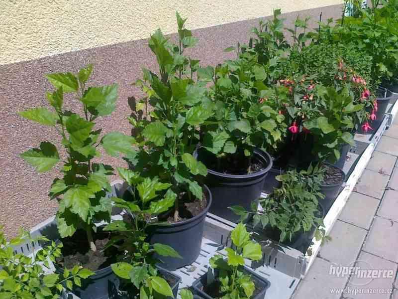 IBIŠEK Syrský mrazuvzdorný venkovní/zdravá semena/sazenice - foto 17