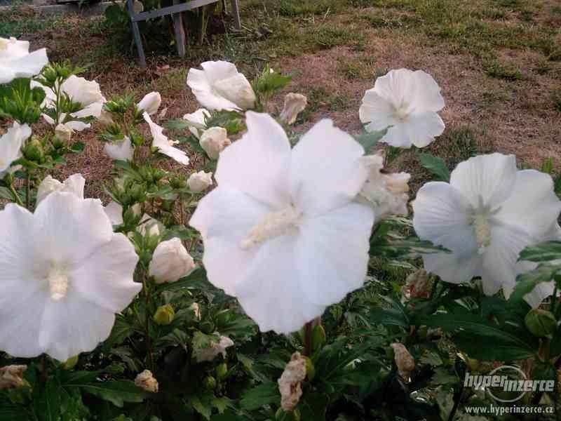 IBIŠEK Syrský mrazuvzdorný venkovní/zdravá semena/sazenice - foto 22