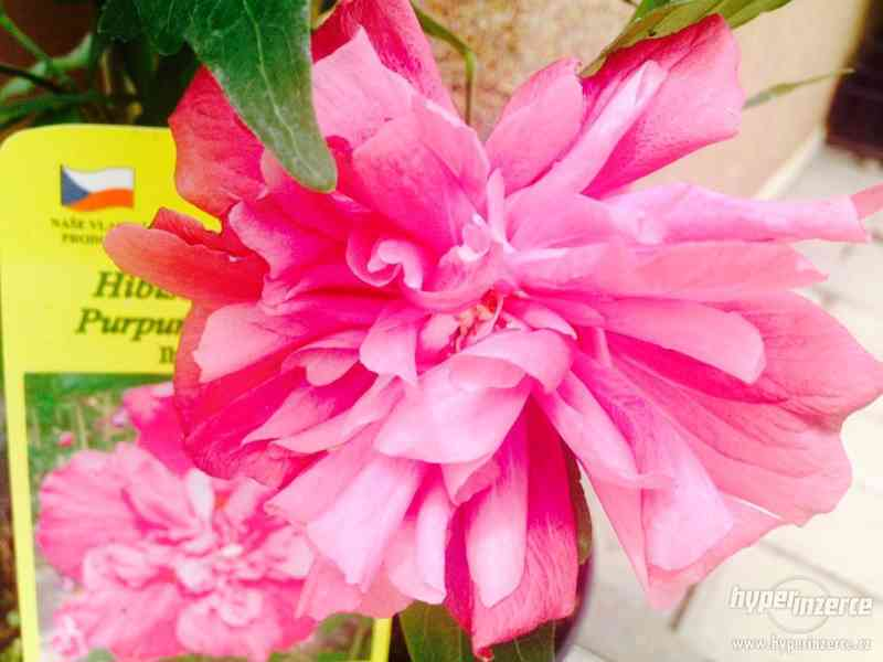 IBIŠEK Syrský mrazuvzdorný venkovní/zdravá semena/sazenice - foto 23