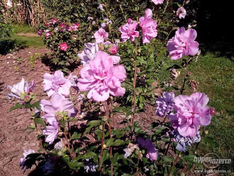 IBIŠEK Syrský mrazuvzdorný venkovní/zdravá semena/sazenice - foto 26