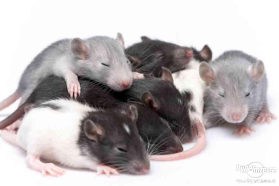 Domácí chov potkanů