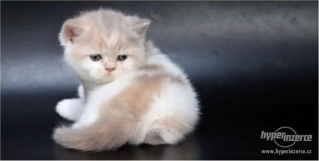 Britská koťátka k rezervaci
