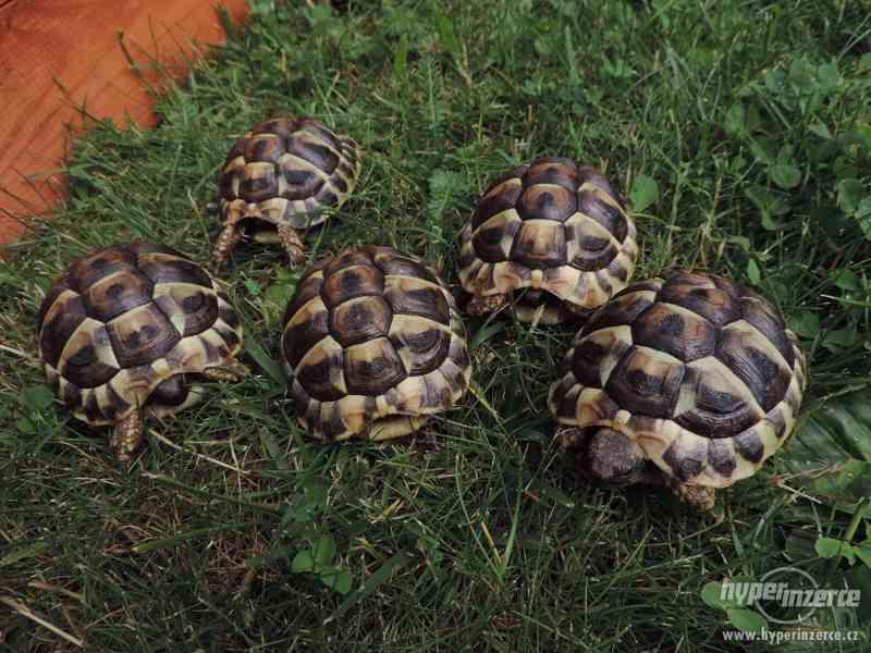 Prodám papírové želvy zelenavé