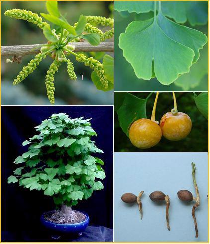 Gingko Biloba - naklíčená semena