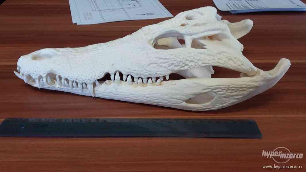 vybělená lebka krokodýla nilského