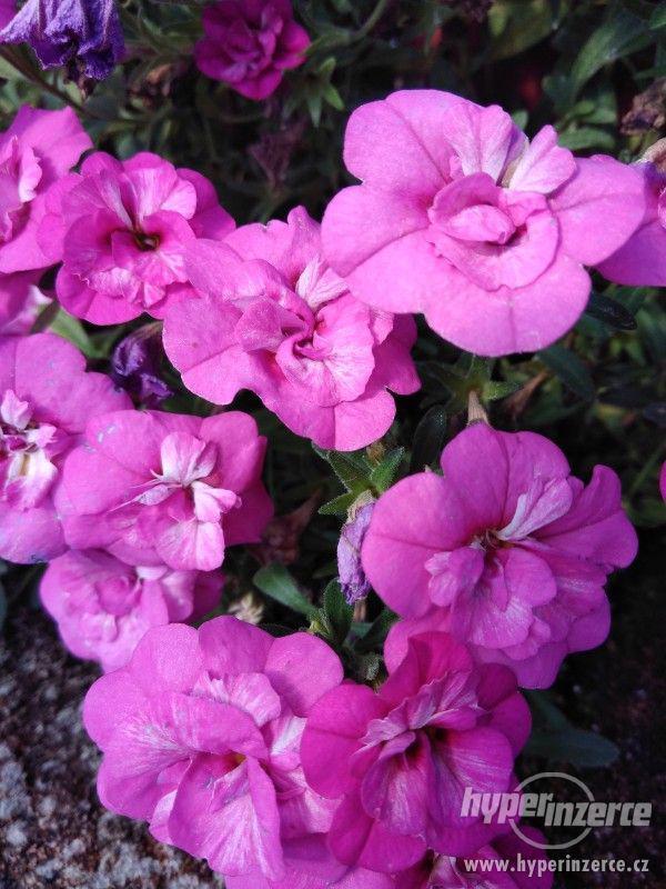 Zahradnictví Valinová MiniFamous double Purple Red - foto 1