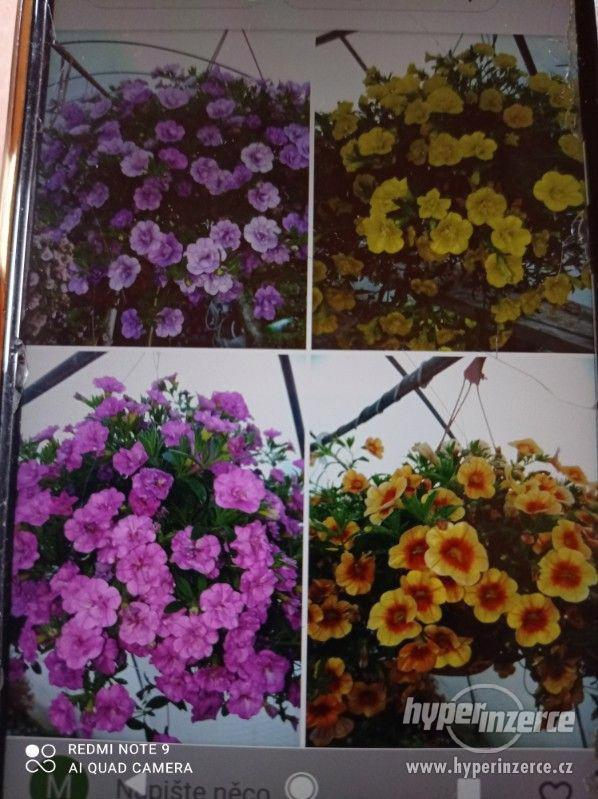 Zahradnictví Valinová MiniFamous double Purple Red - foto 6
