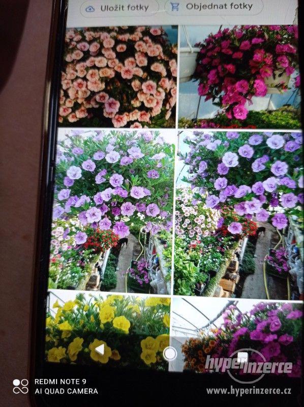 Zahradnictví Valinová MiniFamous double Purple Red - foto 7