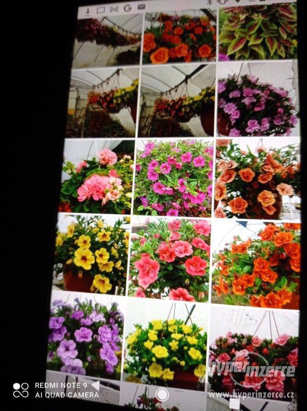 Zahradnictví Valinová MiniFamous double Purple Red - foto 8