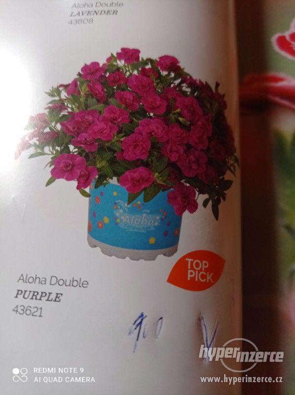 Zahradnictví Valinová MiniFamous double Purple Red - foto 12