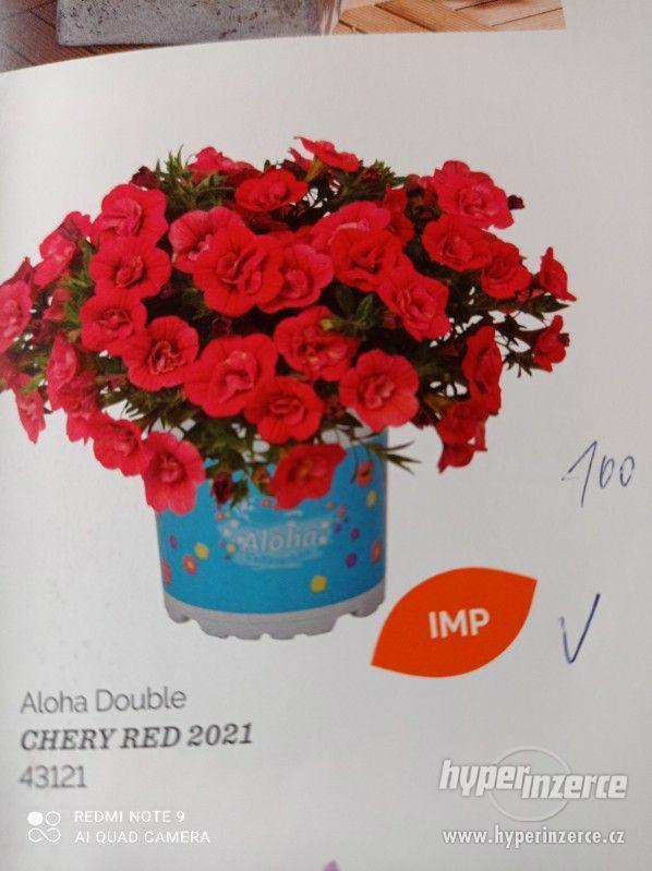 Zahradnictví Valinová MiniFamous double Purple Red - foto 13