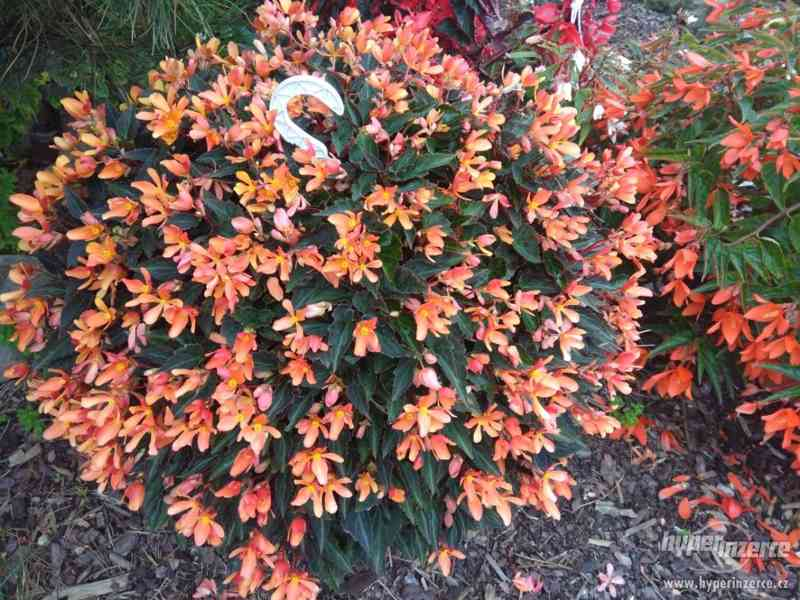 Zahradnictví Valinová MiniFamous double Purple Red - foto 2