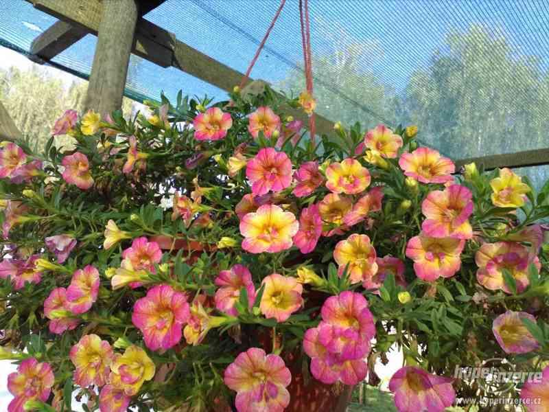 Zahradnictví Valinová MiniFamous double Purple Red - foto 3