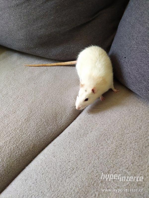 Potkan samec - foto 2