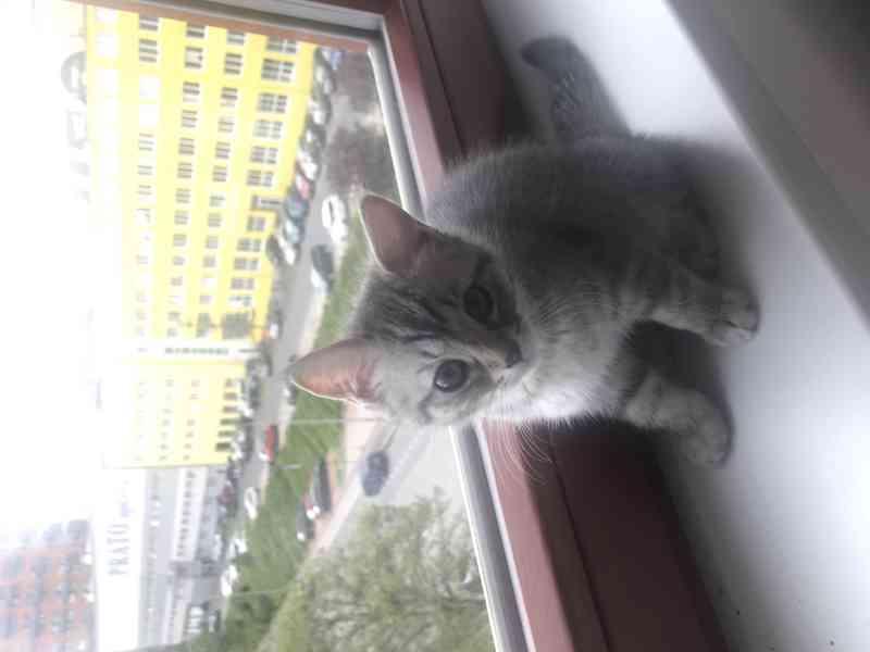 Nádherná koťata skotská klapouchá