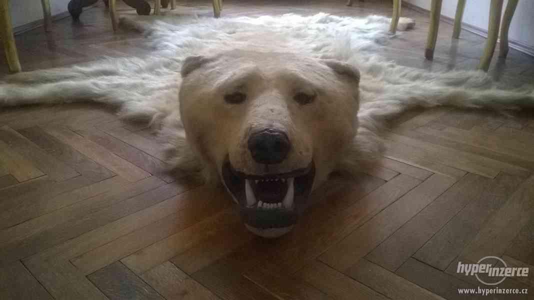 Lovecká trofej ledního medvěda