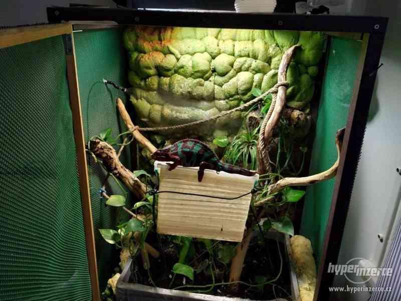 Prodávám chameleon Furcifer Pardalis