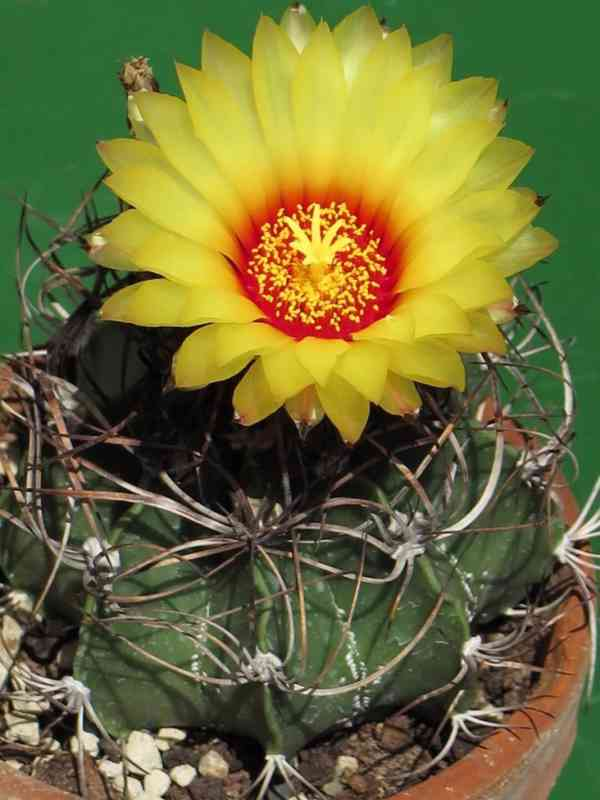 Kaktus Astrophytum capricorne - SEMENA