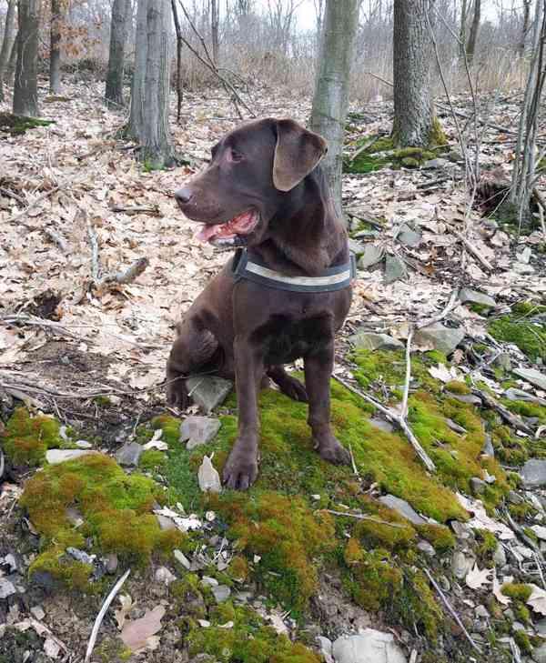 Oříškovo-hnědý čistokrevný labrador