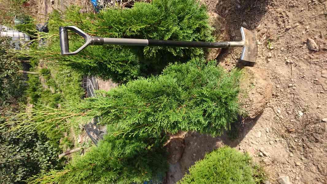 Thuje smaragd na živý plot